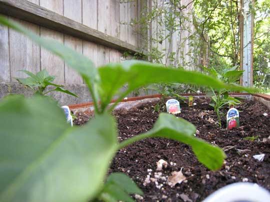 Garden---Peppers