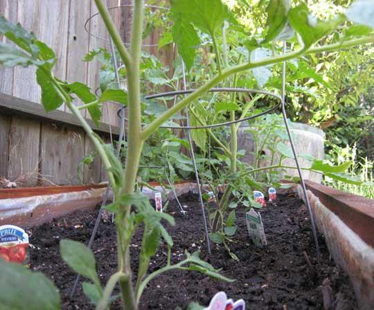 Garden---Tomatoes